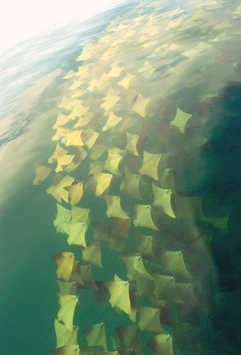 2 - Its a migration of epic proportion a migration of beautiful golden rays