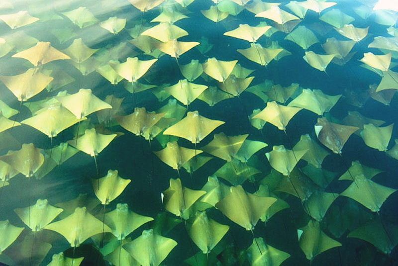 3 - Golden Rays migrate twice a year to warmer waters in the Gulf of Mexico