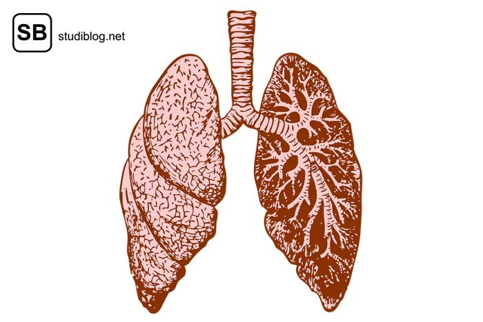 Lunge mit Verästelungen rosa-rot-braun eingefärbt auf weißem Hintergrund - Innere Medizin