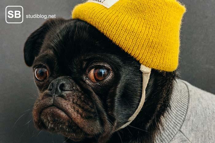 Mops mit schwarzem Fell und gelber umgebundener Strickmütze schaut mit hängenden Mundwinkeln nach vorn - Witze für Studenten zum Totlachen.